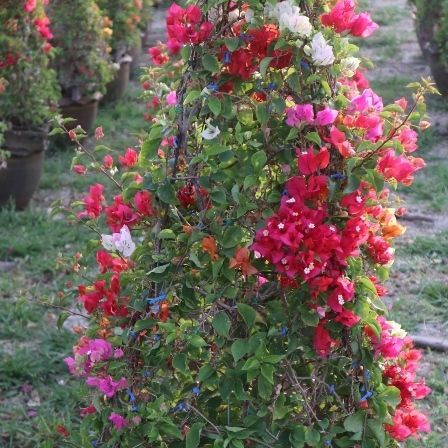 bougainvilleas graft plant exporter nusery and landscape to dubai nusery