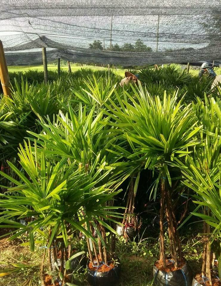 rhaphis excelsa plant exporter lady palm tree for sale