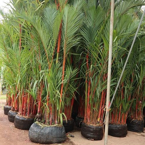 red Sealing wax palm supply to landscape in dubai jamica maldives