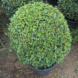 Fukien tree nusery from thailand exporter Carmona Microphylla