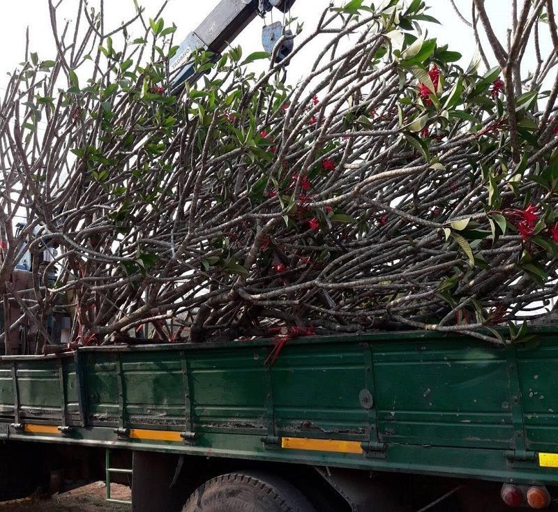 Plumeria Alba singapore white and red color exporting plants