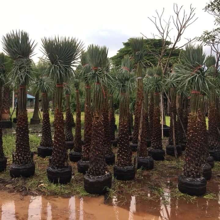 The date palm tree for sale to dubai