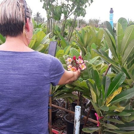 The plumeria graft plant hang the tag from japan visitor
