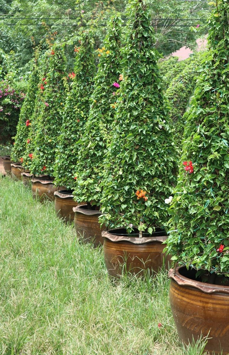 Bougainvillea quality exporting from thailand to maldives resort Project Contracts Qatar