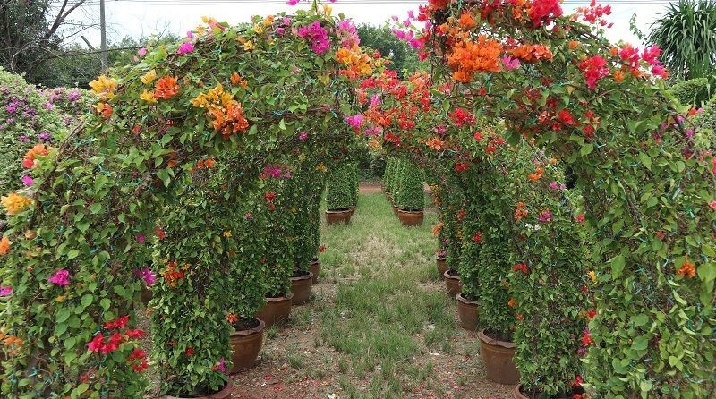 Bougainvilleas colorfull sale to landscape resort in bahrain