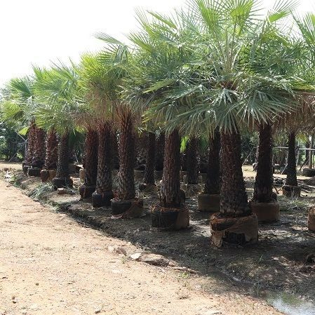 Phoenix dactylifera, commonly known as date or date palm