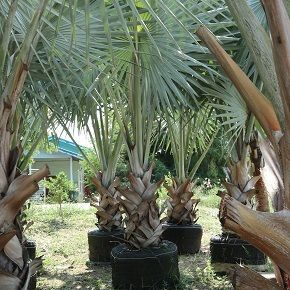 Bismarckia nobilis are exporting by thailand nusery garden to qatar dubai landscape
