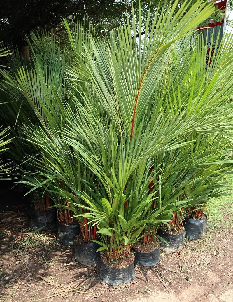 Palm waxing red for sale thailand