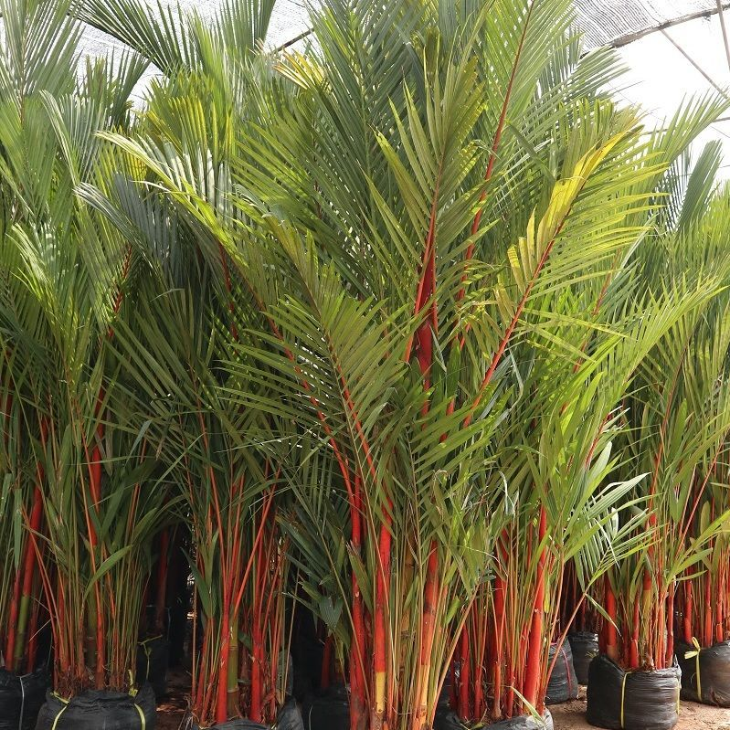 Red waxing palm tree to jamica maldives oman exporting red waxing palm tree we also selling seedling size