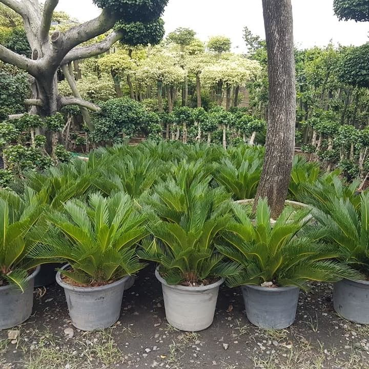 Cambodia import cycas from thailand we selling to collector in USA