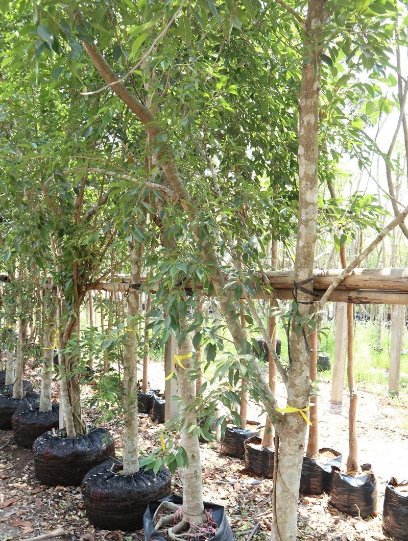 thailand nusery exporting palm tree We supply palm to qatar