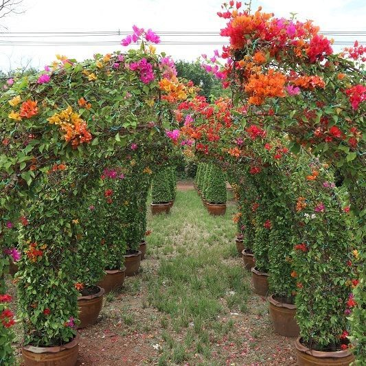Bougainvillea for sale to landscape many shape avaiable to supply to nusery