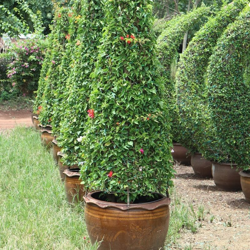 Pyramid bougainvilleas shape for sale to dubai and qatar