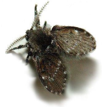 แมลงหวี่ขน ชีววิทยา